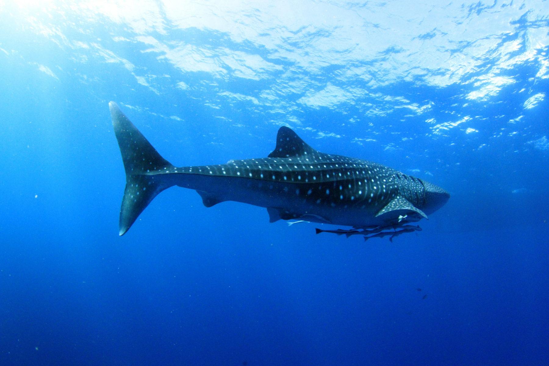 Whaleshark at Richalieu