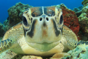 Dive with turtles on your scuba diving day trip Phuket
